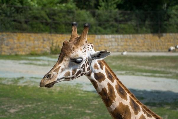 A giraffe in a safari in Tampa